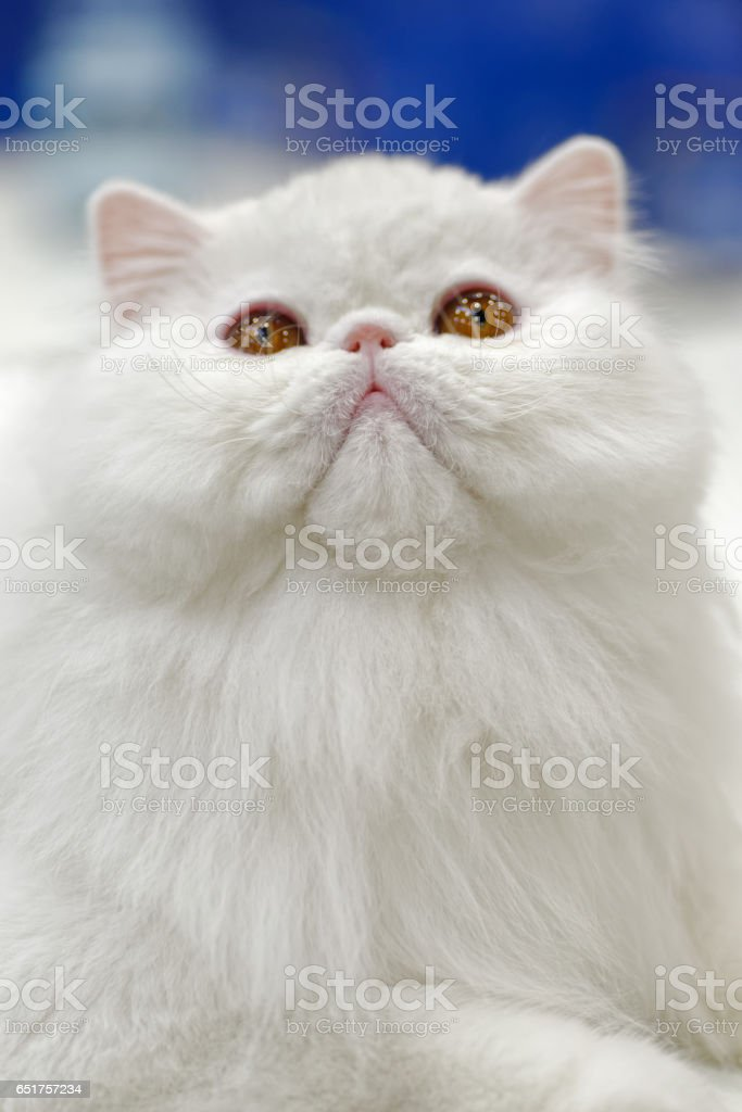 Young white cat royalty-free stock photo