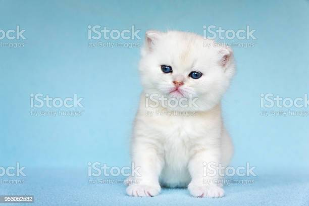 Young white cat sits on blue background picture id953052532?b=1&k=6&m=953052532&s=612x612&h=tt1xisg5aswlqzw6ovpj6skeih65obwvd2d h7x8xtk=