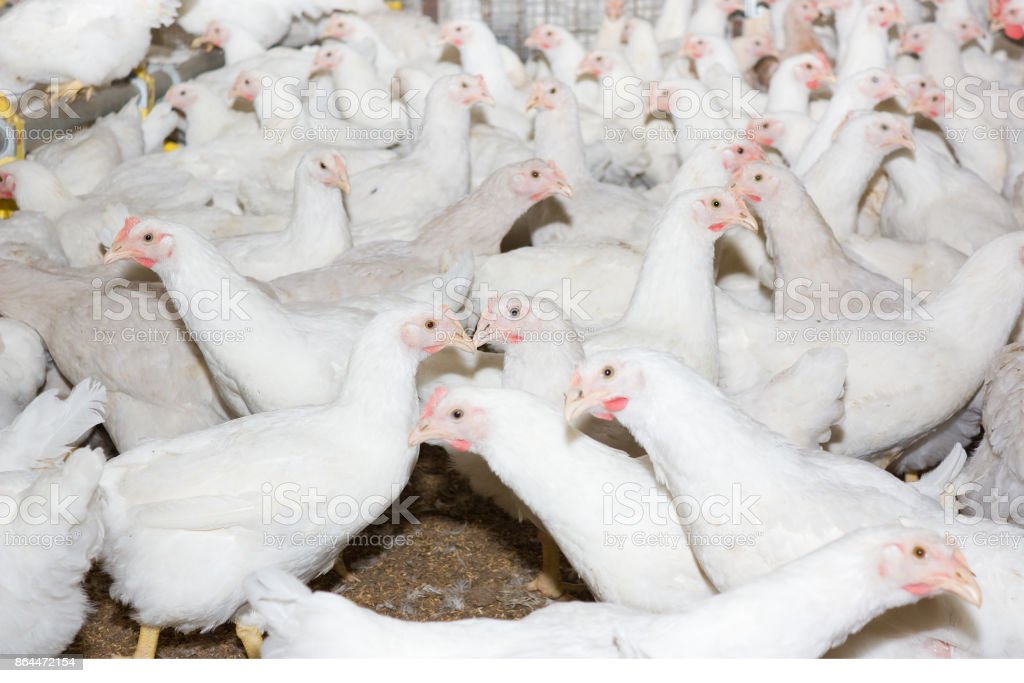 Young white chickens at the poultry farm stock photo