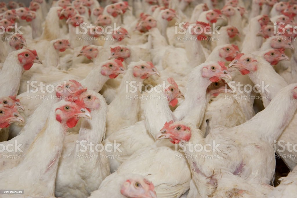 Young white cocks on the poultry farm stock photo