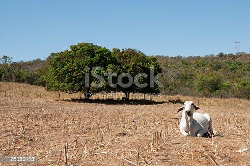 White zebu cow in Mato Grosso, Brazil
