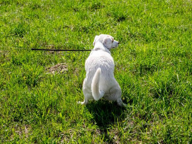 junger weißer hund pooping auf dem gras im park. rückansicht. - durchfall beim hund stock-fotos und bilder