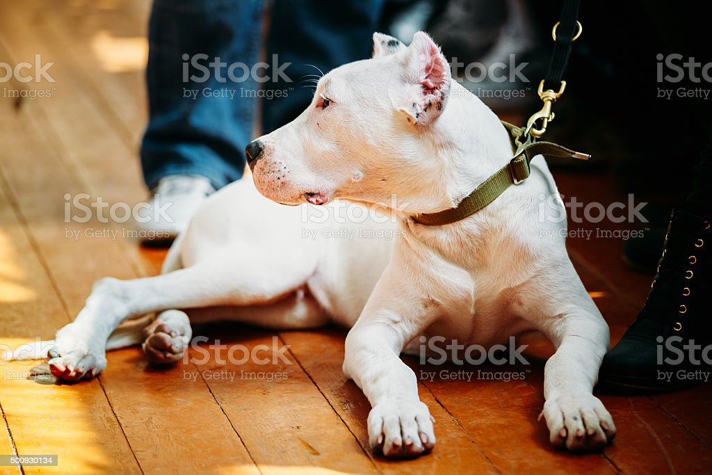 Young White Dogo Argentino Dog laying On Wooden Floor stock photo