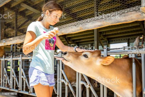 Young white girl visiting farm with young calfs and cows picture id1165616873?b=1&k=6&m=1165616873&s=612x612&h=n0fzkxtciyfjourbltcwzxinulkyjauocoxo4jzi1hg=