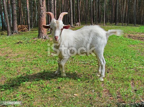 510797127 istock photo Young white goat. 1213689652