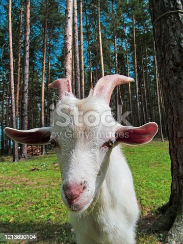 510797127 istock photo Young white goat. 1213690104