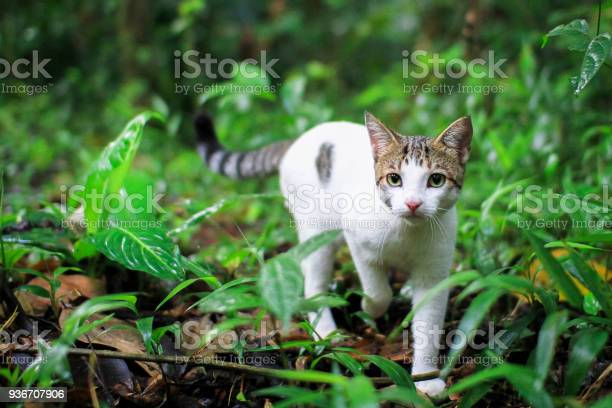Young white house cat walking in the costa rican jungle picture id936707906?b=1&k=6&m=936707906&s=612x612&h=m7mntj8tzbnqcerb rt48yaog1szupltuihmxumbams=