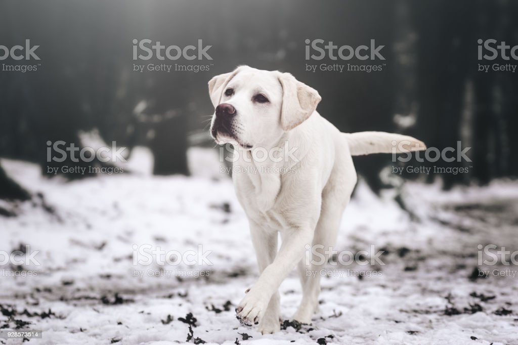 young white labrador retriever dog puppy during a cold winter walk looking gorgeous with copy space stock photo