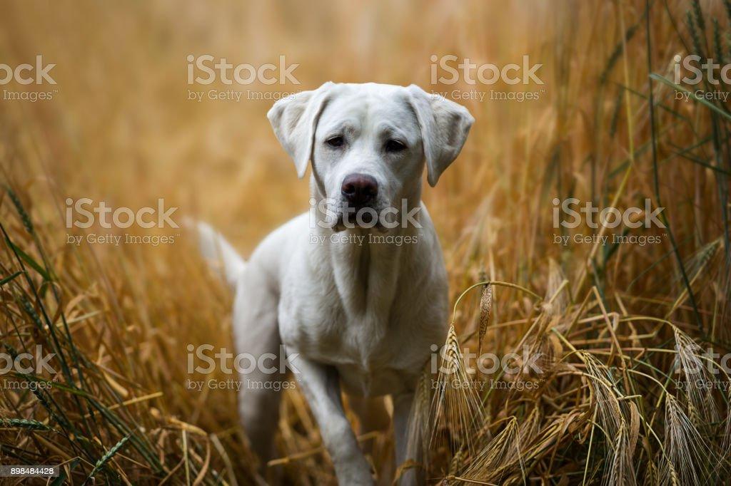 junge weiße Labrador Retriever Hund Welpen in einem gelben Kornfeld – Foto