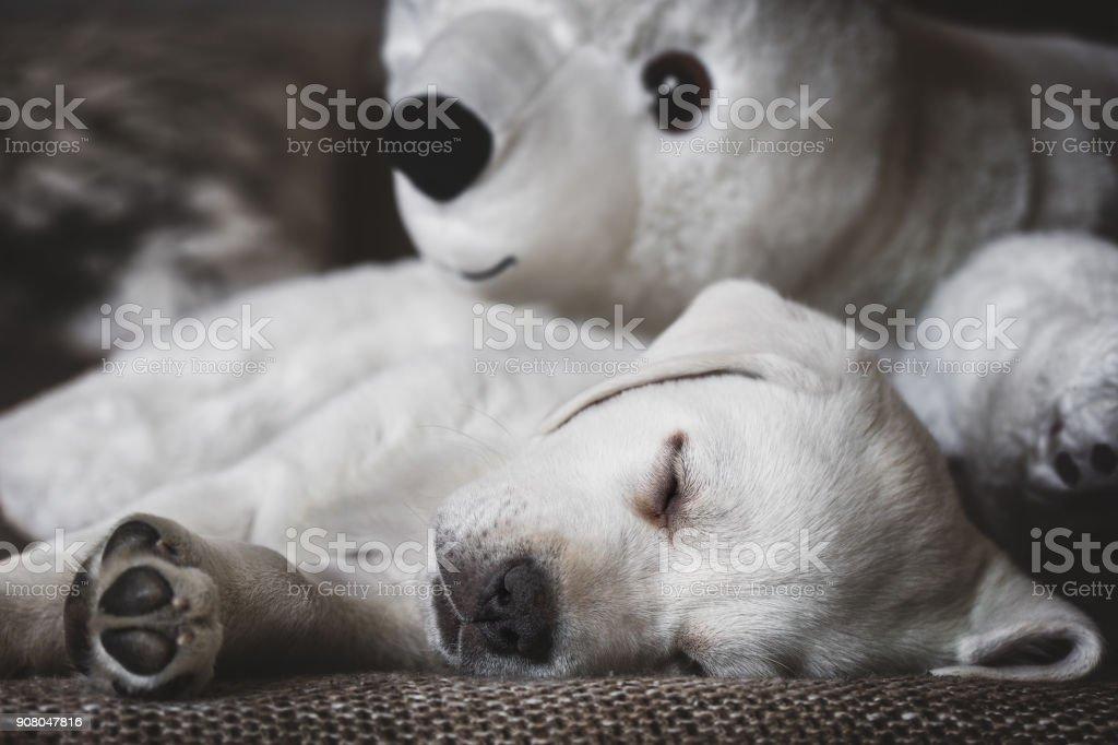 junge weiße Labrador Retriever Hund Welpen schlafen und kuscheln mit Eisbär Spielzeug – Foto