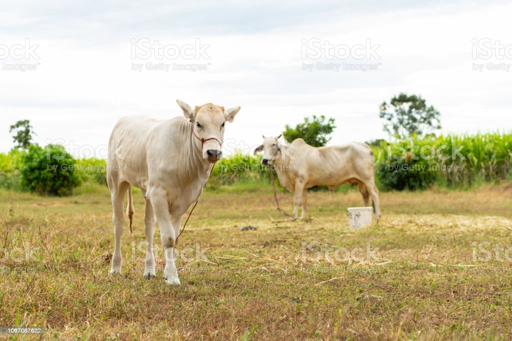 A young white male calf and female cow standing in the field stock photo