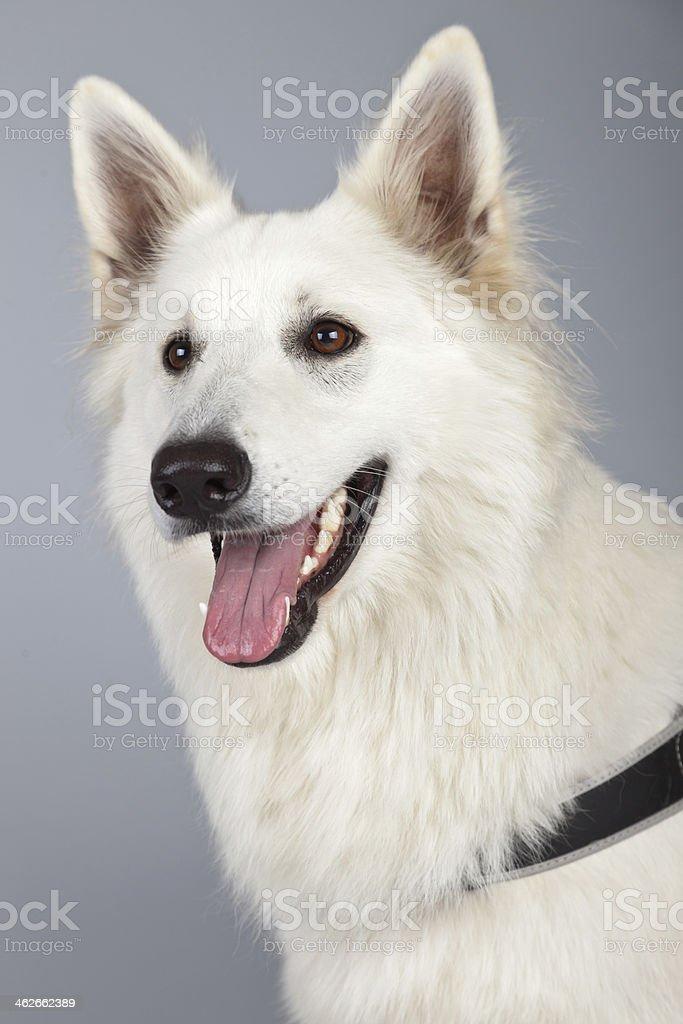 Young white swiss shepherd dog isolated against grey background. stock photo