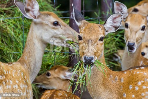Young Whitetail Deer eating grass in the park