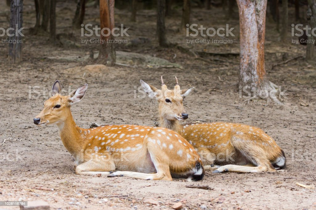 Young Whitetail Deer Male And Female Sitting Together Stock Photo