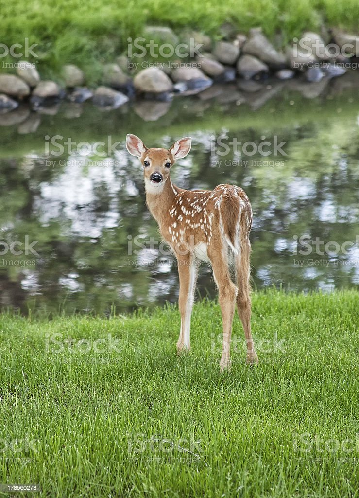 Young white-tailed deer fawn stock photo