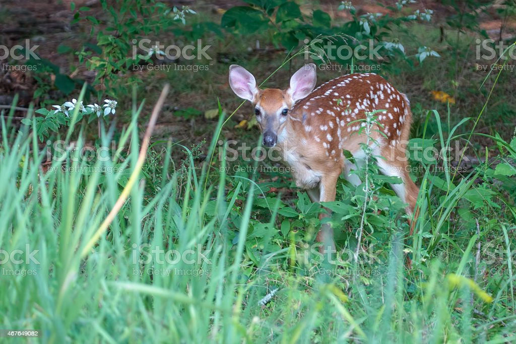 Young white-tailed deer, fawn. stock photo