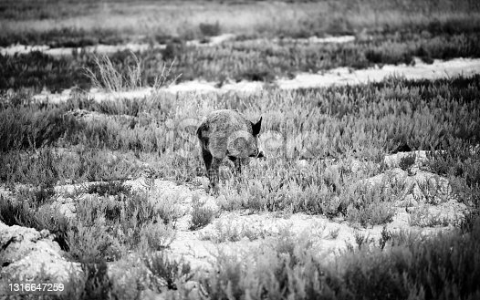 Young wild boar grazing in swamp at summer evening. Black and white toned image. High contrast.