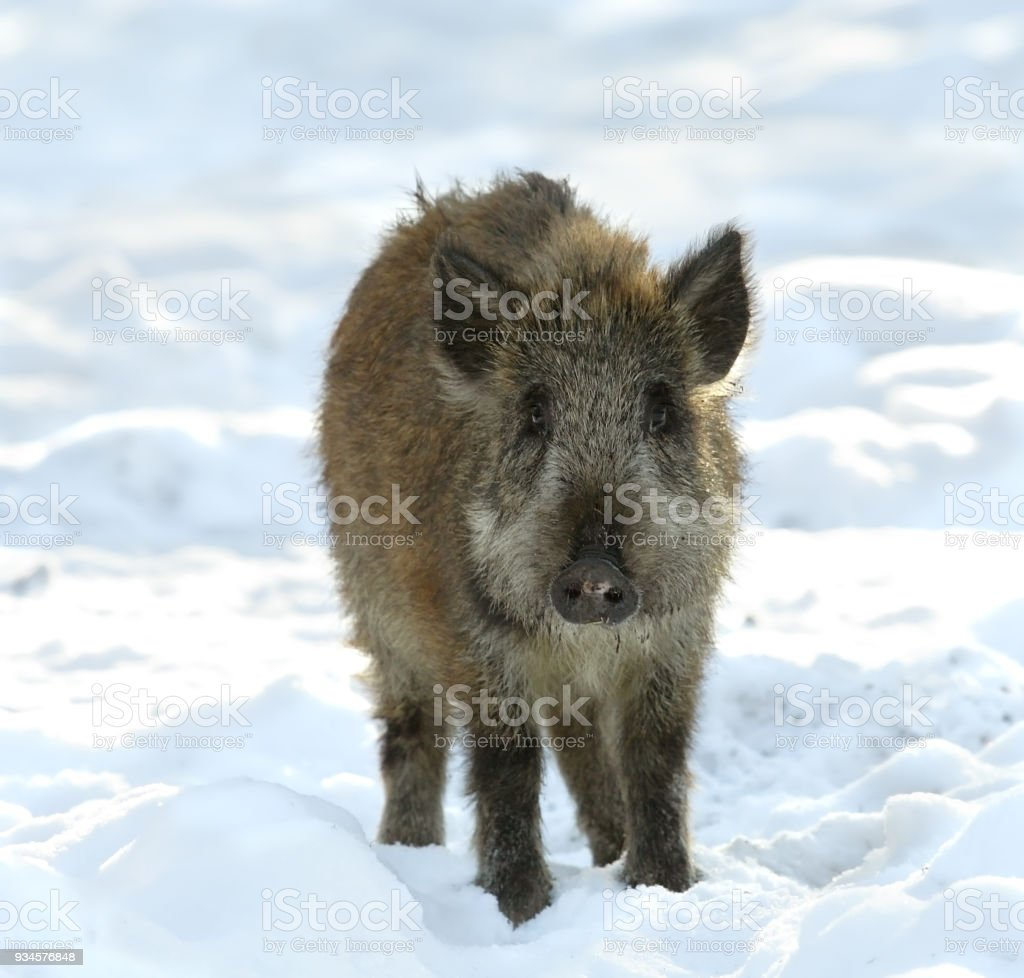Young wild boar on snow stock photo