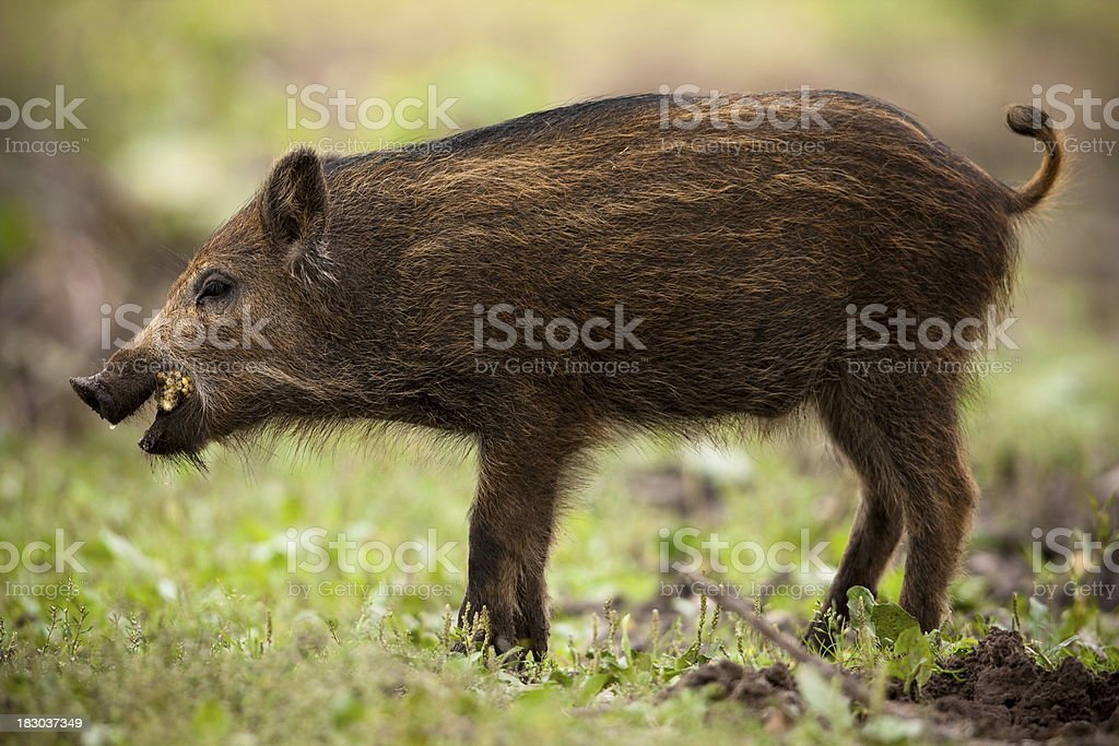 Young Wild Boar Stock Photo & More Pictures of Animal | iStock