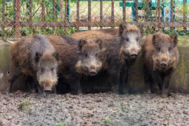 Young wild boars stock photo