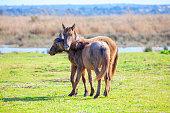 Young wild horses . Foals of Mustangs