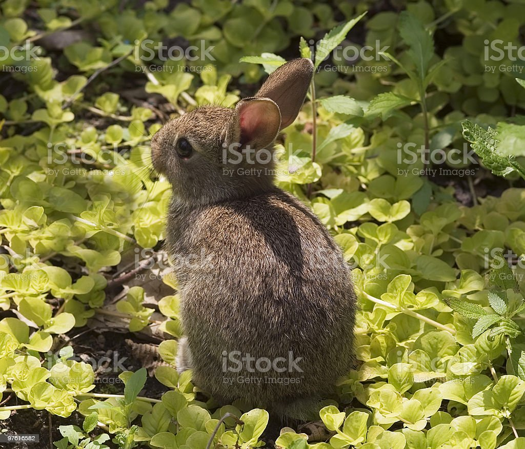 Young wild rabbit close-up royalty-free stock photo