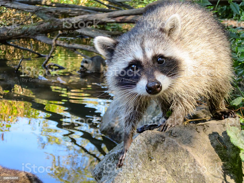 Young wild raccoon by water stock photo
