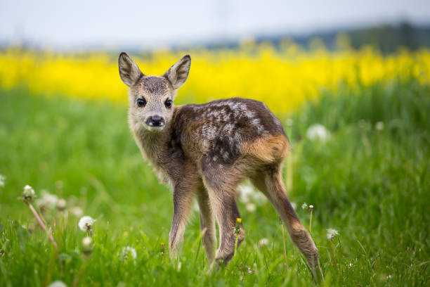 Young wild roe deer in grass, Capreolus capreolus. New born roe deer, wild spring nature. stock photo