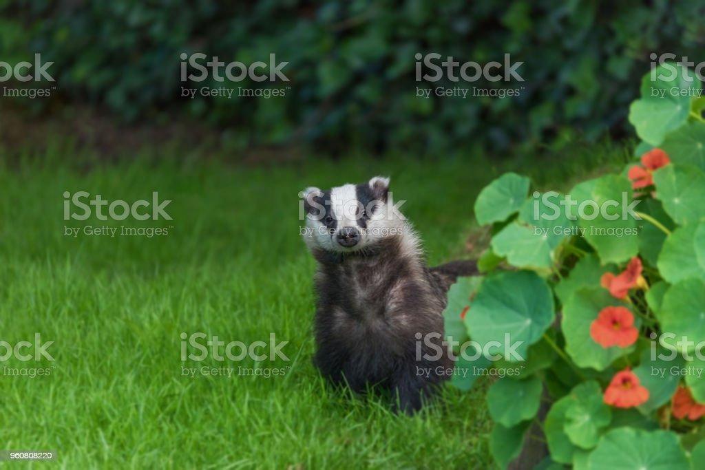 Young wild urban badger. stock photo