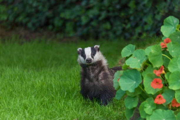 Young wild urban badger. stock photo