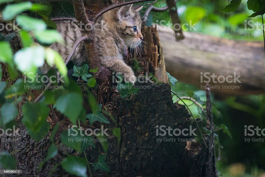 Young wildcat stock photo