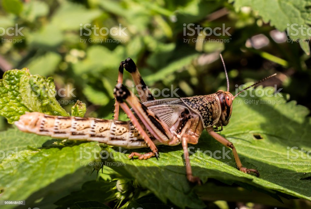 Young wingless Egyptian locust stock photo