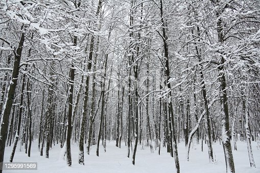 istock young winter forest 1295991569