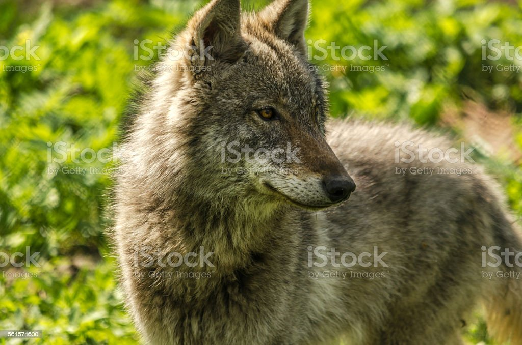Young wolf (Canis lupus) close-up stock photo