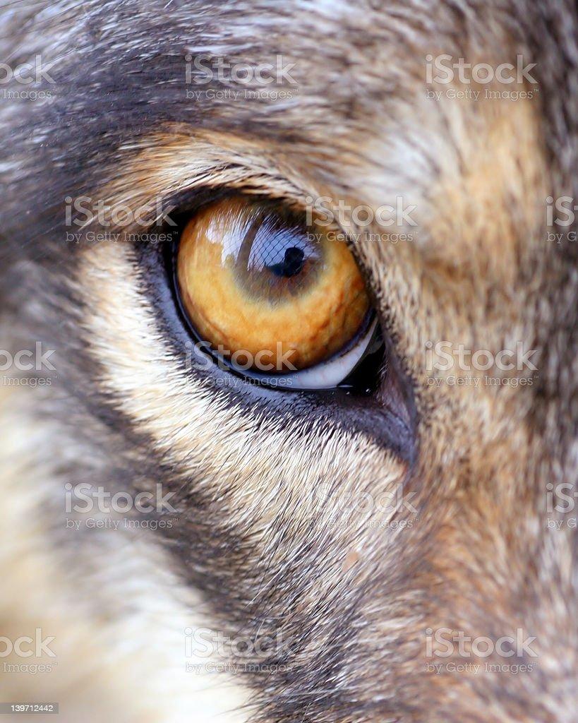 Young wolf eye macro straight at camera! stock photo