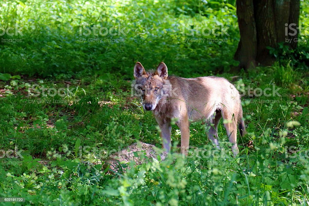 Young wolf in Bialowieza National Park stock photo
