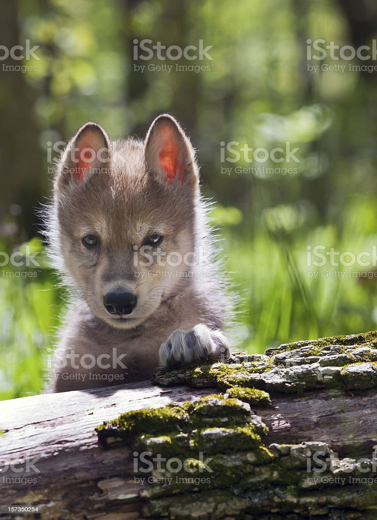 Young Wolf Pup stock photo
