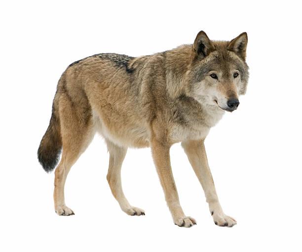young wolf staring at its pray. isolated on white. - varg bildbanksfoton och bilder
