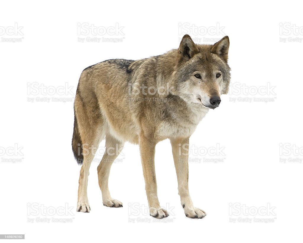 Young wolf staring at its pray. Isolated on white. stock photo
