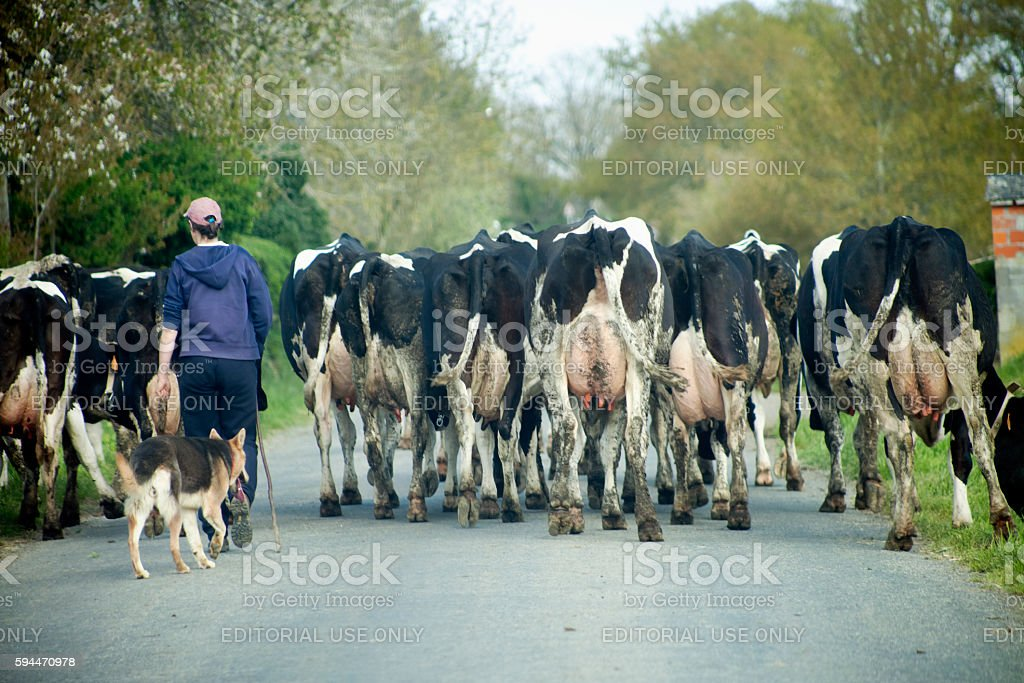 Young woman and german sheperd dog herding cows stock photo