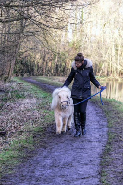 young woman and palomino shetland pony - whiteway pony stock photos and pictures