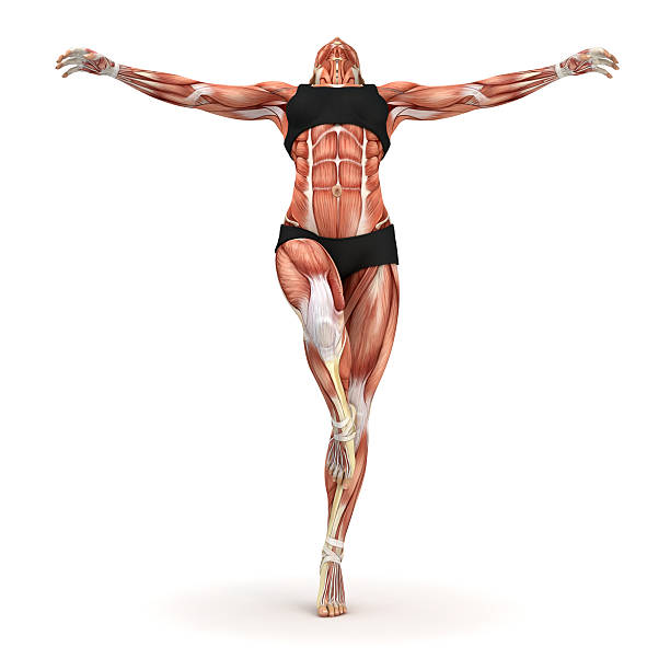 Royalty Free Muscles Anatomy Woman Pictures Images And Stock Photos