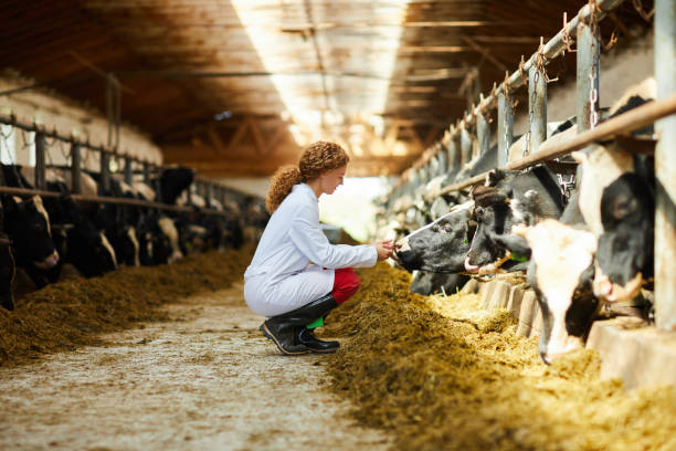 Young Woman Caring for Cows Side view portrait of cute female veterinarian caring for cows sitting down in sunlit barn, copy space dairy farm stock pictures, royalty-free photos & images