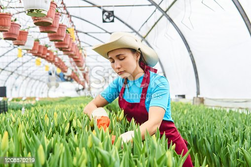 young woman working caring for tulips in a greenhouse