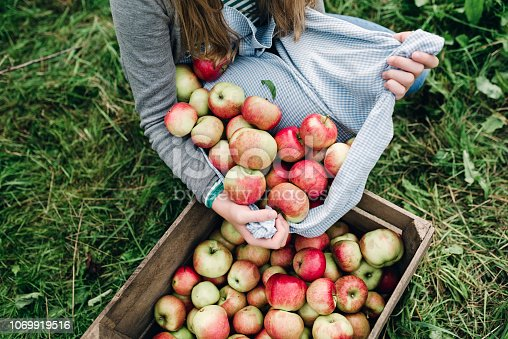 Portrait of a teenage girl, 13 years old, collecting apples from the orchard in her apron then pouring them into a wooden apple box. I think they are Spartan apples.Photographed in a large garden on location on the island of Møn in Denmark. Colour, horizontal with some copy space.