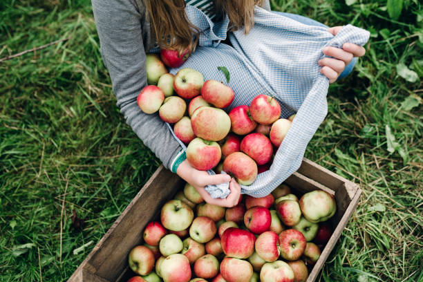 jonge vrouw verzamelen van appels in de herfst - fruitboom stockfoto's en -beelden