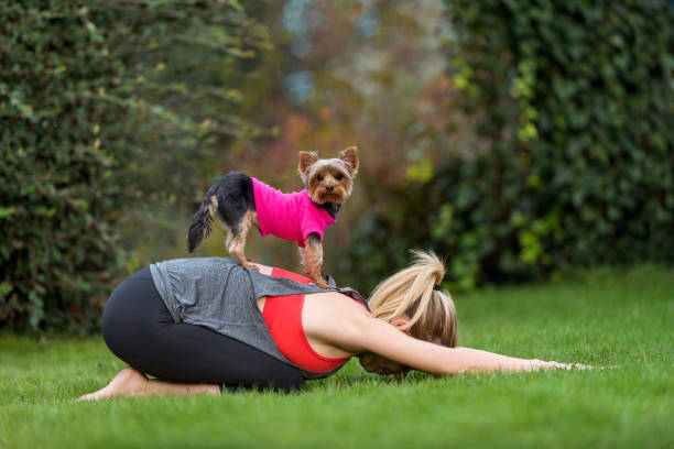 Young woman doing yoga prenatal child posture position with cute Yorkshire Terrier dog Young woman doing yoga prenatal child posture position with cute Yorkshire Terrier breed dog on her piggyback childs pose stock pictures, royalty-free photos & images