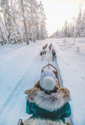 Rear view of young woman having fun with wilderness huskey dogs sledge safari ride taiga tour at sunset in winter wonderland, Levi, Rovaniemi, Lapland, Finland