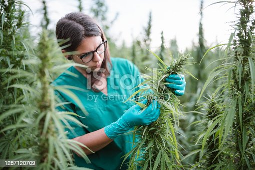 Woman examining and care for cannabis plants.