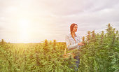 Young woman farmer harvesting hemp plants